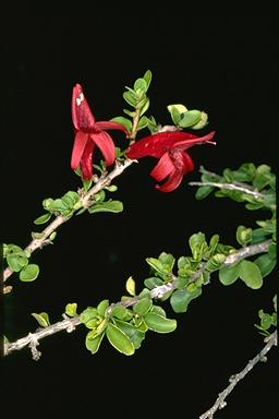 APII jpeg image of Graptophyllum thorogoodii  © contact APII