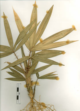 APII jpeg image of Calamus australis  © contact APII