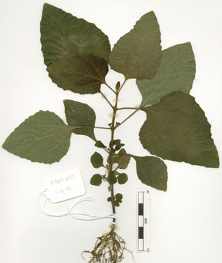 APII jpeg image of Adenostemma macrophyllum  © contact APII