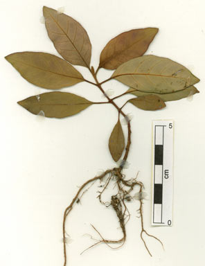 APII jpeg image of Harungana madagascariensis  © contact APII