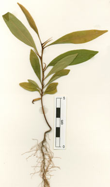 APII jpeg image of Erythroxylum sp. Brewer LA (B.Hyland 13373)  © contact APII