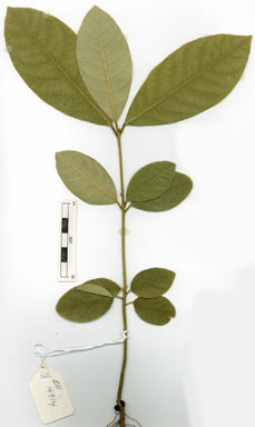 APII jpeg image of Litsea glutinosa  © contact APII