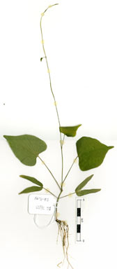 APII jpeg image of Ipomoea obscura  © contact APII