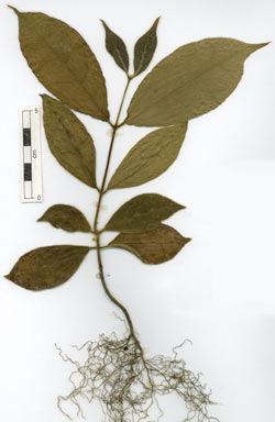 APII jpeg image of Palmeria scandens  © contact APII