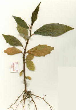 APII jpeg image of Ficus mollior  © contact APII