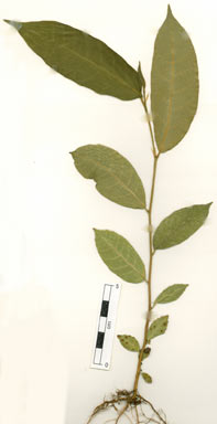 APII jpeg image of Ficus virgata  © contact APII