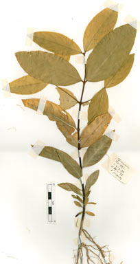 APII jpeg image of Dinghoua globularis  © contact APII