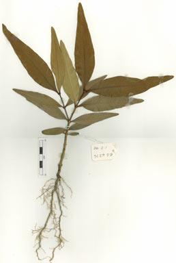 APII jpeg image of Notelaea longifolia  © contact APII