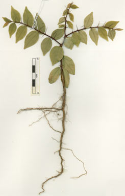 APII jpeg image of Ziziphus quadrilocularis  © contact APII