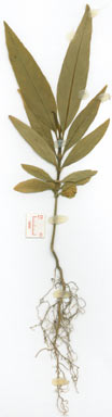 APII jpeg image of Hodgkinsonia frutescens  © contact APII