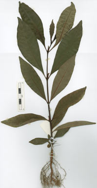 APII jpeg image of Psychotria sp. Mt Lewis (V.K.Moriarty 2445)  © contact APII