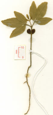 APII jpeg image of Zanthoxylum ovalifolium  © contact APII