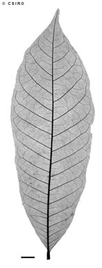 APII jpeg image of Aglaia tomentosa  © contact APII