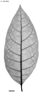 APII jpeg image of Ficus septica  © contact APII