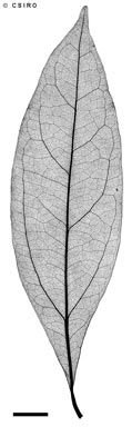 APII jpeg image of Cryptocarya clarksoniana  © contact APII