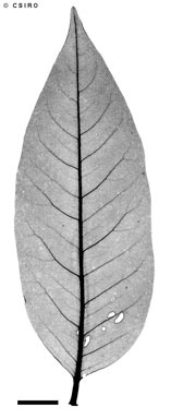 APII jpeg image of Dysoxylum latifolium  © contact APII