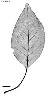APII jpeg image of Terminalia petiolaris  © contact APII