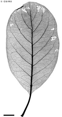 APII jpeg image of Terminalia aridicola subsp. chillagoensis  © contact APII