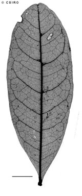 APII jpeg image of Cupaniopsis fleckeri  © contact APII