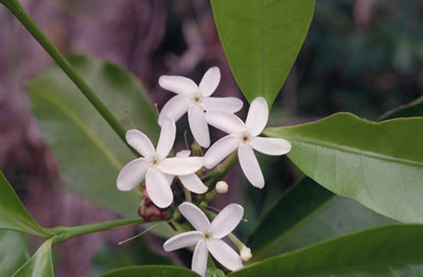 APII jpeg image of Kopsia arborea  © contact APII