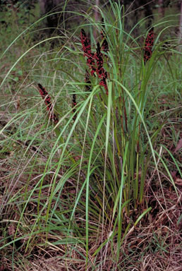 APII jpeg image of Gahnia aspera  © contact APII