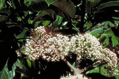 APII jpeg image of Melicope bonwickii  © contact APII