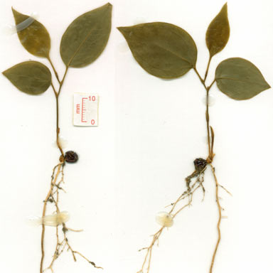 APII jpeg image of Smilax australis  © contact APII