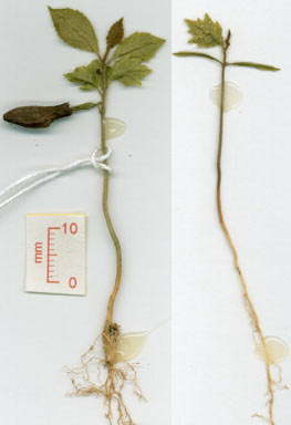 APII jpeg image of Symplocos hayesii  © contact APII