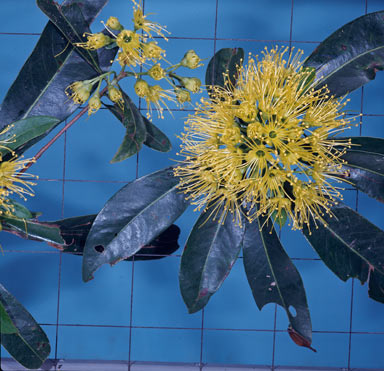 APII jpeg image of Xanthostemon chrysanthus  © contact APII
