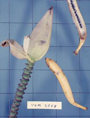 APII jpeg image of Musa banksii  © contact APII