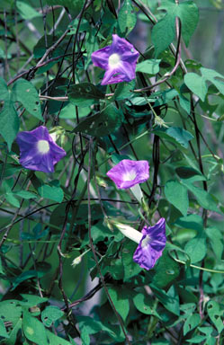 APII jpeg image of Ipomoea nil  © contact APII