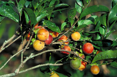 APII jpeg image of Diospyros hebecarpa  © contact APII