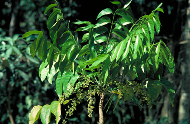 APII jpeg image of Ailanthus integrifolia subsp. integrifolia  © contact APII