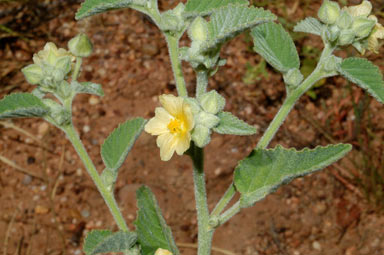 APII jpeg image of Sida cordifolia  © contact APII