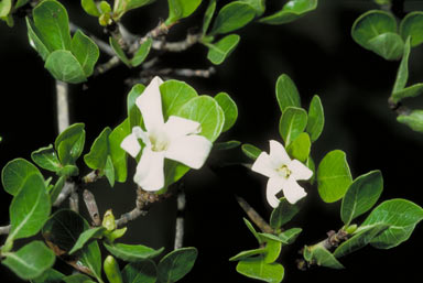APII jpeg image of Gardenia vilhelmii  © contact APII