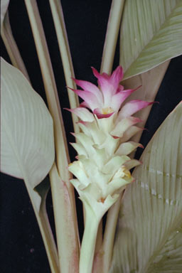APII jpeg image of Curcuma longa  © contact APII