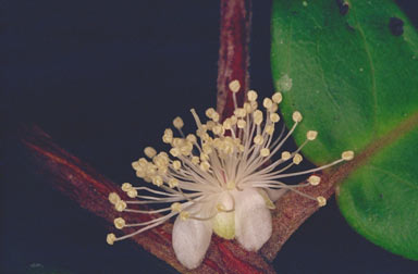 APII jpeg image of Rhodamnia sessiliflora  © contact APII