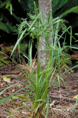 APII jpeg image of Cyperus laxus  © contact APII