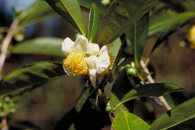 APII jpeg image of Camellia sinensis  © contact APII
