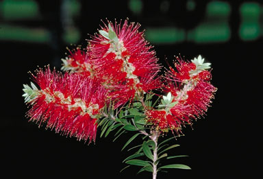 APII jpeg image of Melaleuca recurva  © contact APII