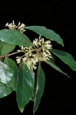 APII jpeg image of Pittosporum ferrugineum  © contact APII