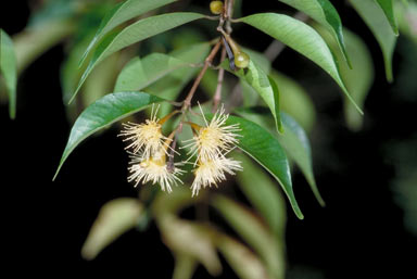 APII jpeg image of Syzygium canicortex  © contact APII