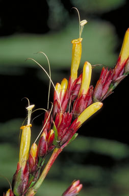 APII jpeg image of Sanchezia parvibracteata  © contact APII