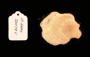APII jpeg image of Carronia protensa  © contact APII