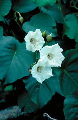 APII jpeg image of Merremia peltata  © contact APII