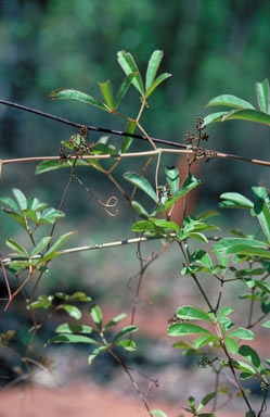 APII jpeg image of Ampelocissus acetosa  © contact APII