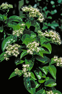APII jpeg image of Glossocarya hemiderma  © contact APII