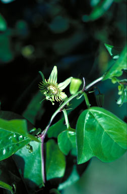 APII jpeg image of Passiflora suberosa  © contact APII