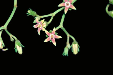 APII jpeg image of Parsonsia straminea  © contact APII