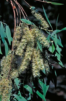 APII jpeg image of Melaleuca dealbata  © contact APII
